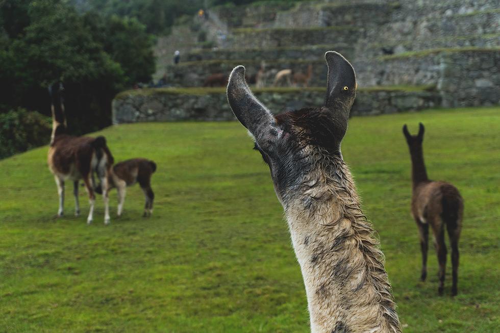 Peru lamy